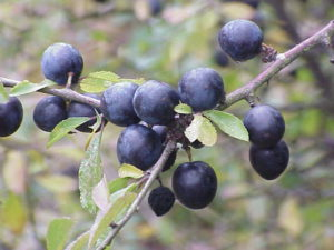 Prunus spinosa per bargnolino